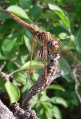 Sympetrum sanguineum (Müller, 1764) --  ORDINE: Odonata  FAMIGLIA: Libellulidae  NOME SCIENTIFICO: Sympetrum sanguineum (Müller, 1764)  DATA E LOCALITÁ: 26.5.2015 Sicilia contrada Bochini Avola (SR)  COMMENTO: