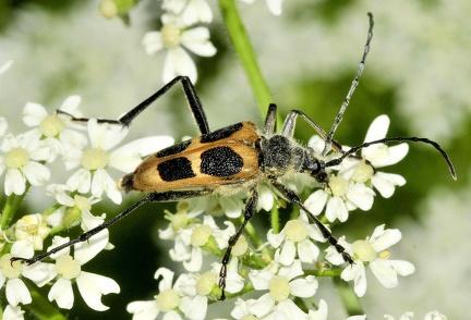 Pachyta quadrimaculata --  ORDINE: COLEOPTERA  FAMIGLIA: CERAMBYCIDAE  CENERE e SPECIE: Pachyta quadrimaculata  DATA e LOCALITA: 16/07/2015 - Val di Genova, Pinzolo, TN  :