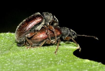 Phyllobius oblongus --  ORDINE: COLEOPTERA  FAMIGLIA: CURCULIONIDAE  CENERE e SPECIE: Phyllobius oblongus  DATA e LOCALITA: 15/05/2013 - Faeto, Serramazzoni, MO  :