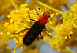 Cantharis paganettii