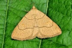 Paracolax tristalis -- NOME SCIENTIFICO: Paracolax tristalis  FAMIGLIA: Erebidae  DATA E LOCALITÁ: 11/07/15, Cisana, Toano RE  COMMENTO: