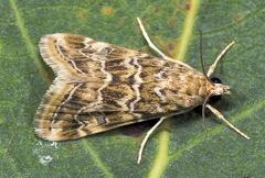 Hellula undalis --  ORDINE: LEPIDOPTERA  FAMIGLIA: CRAMBIDAE  nome scientifico: Hellula undalis  DATA e LOCALITA: 13/09/2013 - Oasi Nat. di Colombarone, Formigine, MO  :