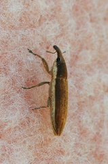 C Lixus sp. (Curculionidae) CMt 2020 04 24 - Bioblitz 2020 #iorestoacasa - Franziska Barbieri - BB2020-627 -- Castel Maggiore (BO) 26/4/2020