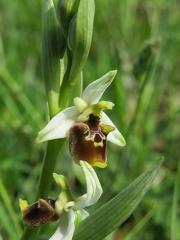 Ophrys appennina - Bioblitz 2020 #iorestoacasa - Andrea Gambarelli - BB2020-658 -- Colline reggiane (RE), aprile 2020