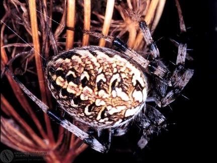 Neoscona cf. byzanthina  --  ordine: Araneae  famiglia: Araneidae  nome scientifico: Neoscona cf. byzanthina  data e località: Confluence of Scoltenna and Panaro rivers, Modena Province, Emilia Romagna, Italy  commento:
