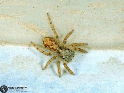 Euophrys lanigera  --  ordine: Araneae  famiglia: Salticidae  nome scientifico: Euophrys lanigera  data e località: Castel di Aiano, Bologna Province, Emilia Romagna, Italy  commento:
