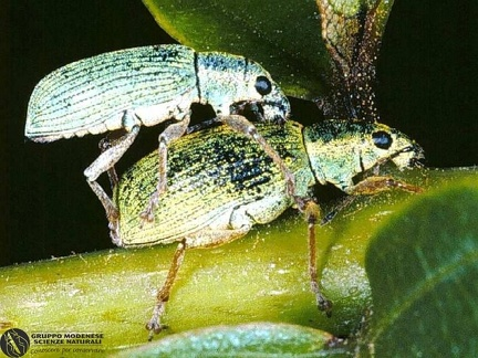 Polydrusus sericeus  --  ordine: Coleoptera  famiglia: Curculionidae  nome scientifico: Polydrusus sericeus  data e località: Rogorotto, Milano Province, Lombardia,Italy  commento: