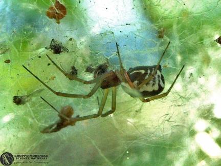 Frontinellina frutetorum  --  ordine: Araneae  famiglia: Linyphiidae  nome scientifico: Frontinellina frutetorum  data e località: Bora protected area,San Giovanni in Persiceto, Bologna Province, Emilia Romagna, Italy  commento: