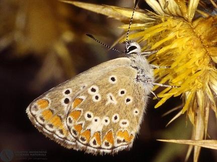Aricia Agestis cramera  --  ordine: Lepidoptera  famiglia: Lycaenidae  nome scientifico: Aricia Agestis cramera  data e località: Undetermined location, Sardinia, Italy  commento: