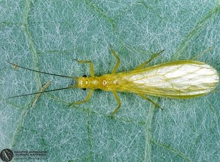 Chloroperla torrentium  --  ordine: Plecoptera  famiglia: Chloroperlidae  nome scientifico: Chloroperla torrentium  data e località: Corno alle Scale Park, Bologna Province, Emilia Romagna, Italy  commento: