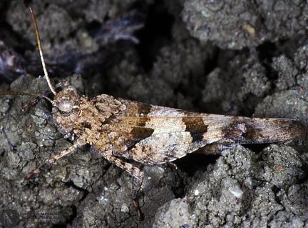 Sphingonotus caerulans  --  ordine: Orthoptera  famiglia: Acrididae  nome scientifico: Sphingonotus caerulans  data e località: Lercara Friddi, Palermo Province, Sicily, Italy  commento: