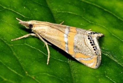 Euchromius bella --  ORDINE: LEPIDOPTERA  FAMIGLIA: CRAMBIDAE  NOME SCIENTIFICO: Euchromius bella  DATA E LOCALITÁ: 05/08/2014 , Cisana , Toano , RE  COMMENTO: