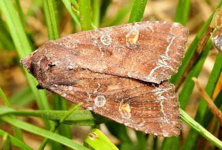 Lacanobia oleracea --  ORDINE: LEPIDOPTERA  FAMIGLIA: NOCTUIDAE  NOME SCIENTIFICO: Lacanobia oleracea  DATA E LOCALITÁ: 17/05/2015 , Fano , PU  COMMENTO: