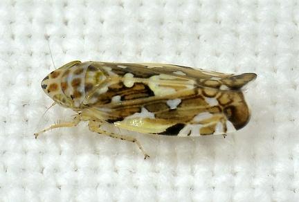 Metralimnus formosus (Cfr) --  ORDINE: HEMIPTERA - HOMOPTERA  FAMIGLIA: CICADELLIDAE  nome scientifico: Metralimnus formosus (Cfr)  DATA e LOCALITA: 21/06/2018 - Modena  :